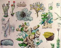 1895 ancient colossal lichens and Mosses print, original vintage color plants engraving, botany poster antique plate illustration.