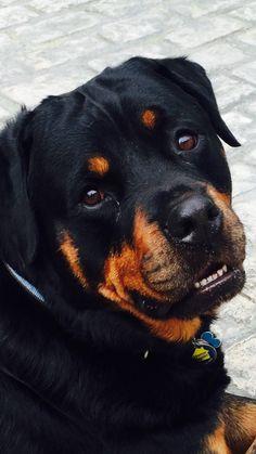 Rottweiler Love, Rottweiler Puppies, Large Dog Breeds, Large Dogs, Animals And Pets, Cute Animals, Pitbulls, Dog Anatomy, Mastiff Dogs