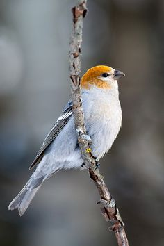 The Pine Grosbeak (Pinicola enucleator) is a large member of the true finch family, Fringillidae. It is found in coniferous woods across Alaska, the western mountains of the United States, Canada,