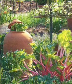 Rhubarb forcers are bell shaped pots with a lid covered opening at the top. Used to cover rhubarb to limit photosynthesis, they encouraging the plant to grow early in the season and also to produce blanched stems. The pots are placed over two to three year old rhubarb crowns during winter or very early spring. Once shoots appear the lid is taken off, causing them to grow towards the light.