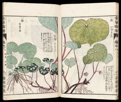 Honzô zufu 本草図譜 Japanese Edo period 1830 (Bunsei Compiled by Iwasaki Kan'en (Tsumasa) (Japanese), Publisher Suharaya Mohei (Japanese) Japanese Illustration, Nature Illustration, Botanical Illustration, Japanese Plants, Japanese Flowers, Botanical Drawings, Botanical Art, Plant Images, Edo Period
