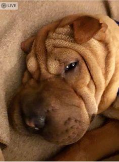 Animals And Pets, Funny Animals, Cute Animals, Shar Pei Fever, Funny Dogs, Cute Dogs, Shar Pei Mix, Fluffy Puppies, Dog Language
