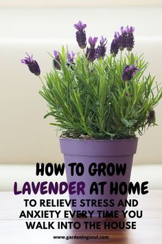 Growing lavender - How To Grow Lavender At Home To Relieve Stress And Anxiety Every Time You Walk Into The House – Growing lavender Indoor Lavender Plant, Best Indoor Plants, How To Plant Lavender, Indoor Herbs, Indoor Flowers, Growing Lavender Indoors, Growing Plants, Growing Herbs Indoors, Container Gardening