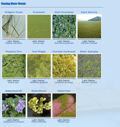 27 Best Identify Your Lake Weeds images in 2014 | Weed, Weed