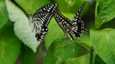 アゲハチョウの求愛行動
