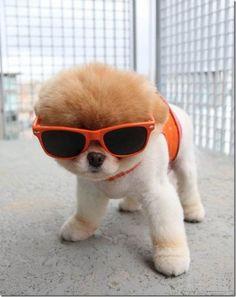 Hondje met zonnebril.