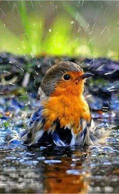 Robin taking a bath.European Robin (Erithacus rubecula), known simply as the robin in the British Isles All Birds, Cute Birds, Pretty Birds, Little Birds, Beautiful Birds, Animals Beautiful, Cute Animals, Funny Birds, Funny Animals
