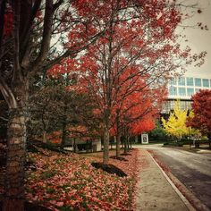 Walking to the office in the Fall #fall #trees #redtrees #red #nature #streets #stlouis