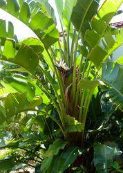 What's Blooming In Paradise: White Bird of Paradise (Strelitzia nicolai) - CaptivaSanibel.com | Island Reporter, Captiva Current, Sanibel-Captiva Islander