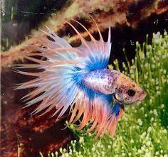 179-Thai-Import-Fancy-Blue-Orange-Male-CT-Crowntail-Betta-Splendens-Live-Fish