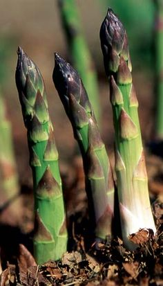 Asparagus: Early, Easy and Excellent - Organic Gardening - MOTHER EARTH NEWS