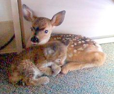 So much 'aww' here... 'Bobcat kitten and three-day-old fawn shelter together at the Santa Barbara County Dispatch Office in California after being rescued from a wild fire'