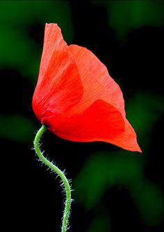 Poppy (papaver rhoeas)   Flickr - Berbagi Foto!