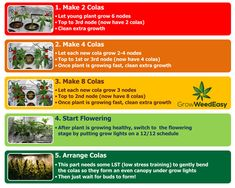 Diagram - basics steps of main-lining cannabis plant from seed using Nebula's manifolding style