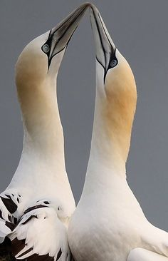 'Gannets are wanderers of the wide oceans, wintering as far away as the coasts of West Africa' Wild About Britain by Brian Jackman www.bradtguides.com