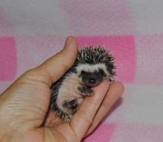 Hedgehog Babies!