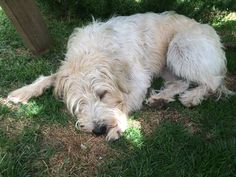 Bramble, the Wheaten Terrier, in favourite 'snooze' mode, only to be switched off for 'eat', 'walk', 'play' or 'sniff investigation' modes. Wheaten Terrier Mix, Bramble, Play, Dog, Pet Dogs
