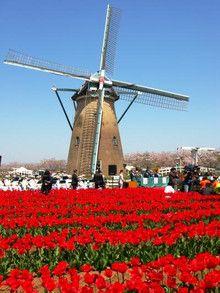 チューリップと風車がマッチ!オランダ 旅行のおすすめ観光スポット。