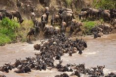 The Great Wildebeest Migration in the Serengeti in Tanzania. #JetsetterCurator