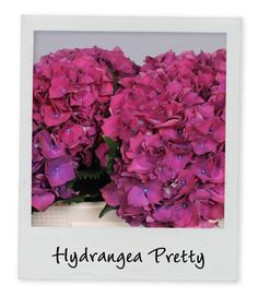Hydrangea Pretty - Holex Insights newsletter week 19