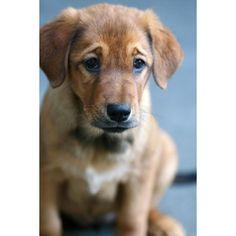 Meet Aurora, a Petfinder adoptable Golden Retriever Dog | Nokomis, FL found on Polyvore