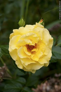 Yellow Rose - State Flower of Texas