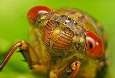 Face of a Cicada by Jon Garcia, via 500px