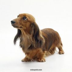 Long Haired #dachshund. What a beauty!                                                                                                                                                                                 Mehr