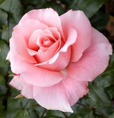 Beautiful Rose Flowers, Exotic Flowers, Amazing Flowers, Beautiful Flowers, Beautiful Beautiful, Pink Roses, Pink Flowers, Rose Reference, Hybrid Tea Roses