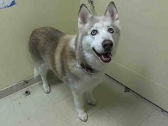 SUPER URGENT 8/2/14 Staten Island Center   PRECIOUS - A1009025   SPAYED FEMALE, BROWN / CREAM, SIBERIAN HUSKY MIX, 11 yrs OWNER SUR - EVALUATE, NO HOLD Reason MOVE2PRIVA  Intake condition GERIATRIC Intake Date 08/02/2014, From NY 10306, DueOut Date 08/05/2014,   https://www.facebook.com/Urgentdeathrowdogs/photos/a.617942388218644.1073741870.152876678058553/848054508540763/?type=3&theater
