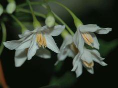 Styrax japonica 'Pendula'