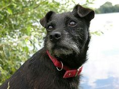 Rough-coated patterdale Terrier