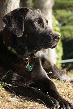 Socrates, Labrador Retriever