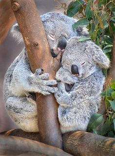 Sleepy koalas