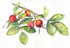 Rose hip  ORIGINAL PAINTING botanical still life nature
