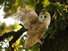 Spirit Of The Forest — {Barn Owls in The Oak} by {Mike Rae}