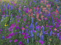 Phlox, Blue Bonnets and Indian Paintbrush Near Brenham, Texas, USA Photographic Print by Darrell Gulin at AllPosters.com