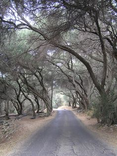 old olive tree tunnel, Ano Garouna