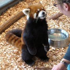 Red panda eating while standing up Red Panda Cute, Panda Love, Red Panda Gif, Panda Puppy, Panda Bear, Baby Puppies, Baby Dogs, My Spirit Animal, My Animal