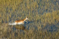 Lechwe antelope in the Okavango Delta  - photo by Radu Zaciu on Flickr