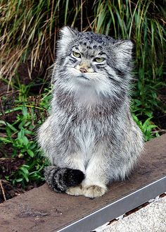 Speak of liberty …. (by Lynn Morag) The Pallas's cat (formerly Felis manul, it is now Otocolobus manul, the only member of its genus) is a small lb?) wild cat primarily found in the steppes and mountains of Central Asia. Like, the Himalayas and. Small Wild Cats, Big Cats, Cats And Kittens, Cute Cats, Rare Animals, Animals And Pets, Felis Manul, Pallas's Cat, Cat Species