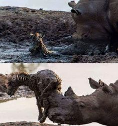 Rhino helping a baby zebra out of the mud