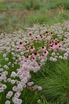 Oudolf ~ Lurie Garden, Millennium Park, Chicago | allium and echinacea | repinned by www.vinlandvalleynursery.com