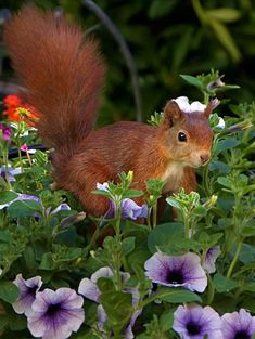 A beautiful, adorable russet squirrel!