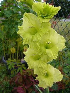 Fascinating Flowers: 10 Striking Green Flowers -- Perfect Addition to Your Garden -- 'GREEN STAR' Gladiolus
