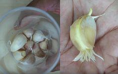 Comment faire pousser facilement de l'ail chez soi : la technique inratable ! Vinegar Detox Drink, Apple Cider Vinegar Detox, Plus Jamais, Voici, Ladder, Caramel, Gardening, Unique, Garden