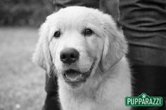 Zinta is destined to become a working dog once she is old enough and had some time to shed some of the puppy like exuberance. Read more at https://www.pupparazzi.com.au/zinta-zac-labrador-puppy-with-the-melbourne-pet-photography-specialists/ pet photographers melbourne