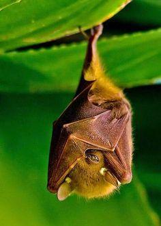 A bat peeking . A Fruit Bat hanging out Nature Animals, Animals And Pets, Baby Animals, Funny Animals, Cute Animals, Beautiful Creatures, Animals Beautiful, Hello Beautiful, Photo Animaliere