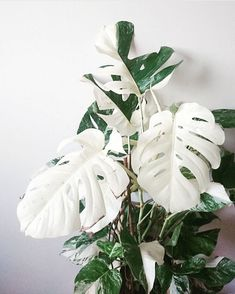 Now this is a gem for today's #MonsteraMonday - a Monstera deliciosa variegata. Sometimes they even develop those all-white leaves. WOW!…