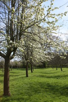 Lovely light on Perry Pear Trees